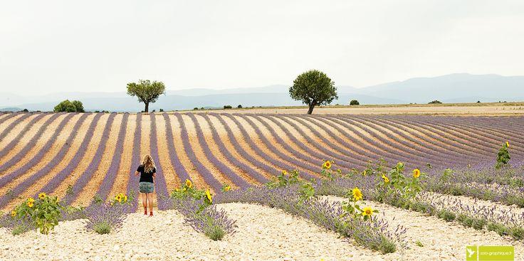 Champs de lavandin sur le plateau de Valensole, Alpes de Haute-Provence. PACA. / Lavender fields in Haute-Provence