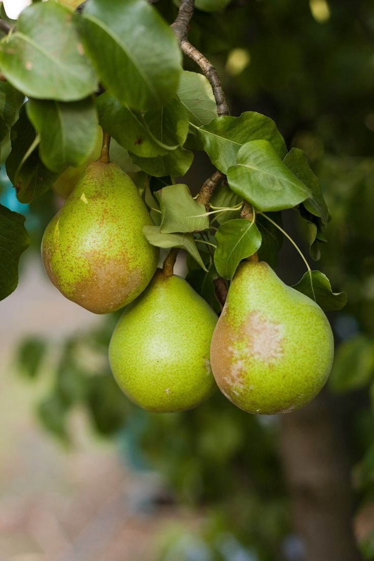 how to cut a pear with pictures
