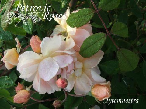 Clytemnestra | Petrovic Roses