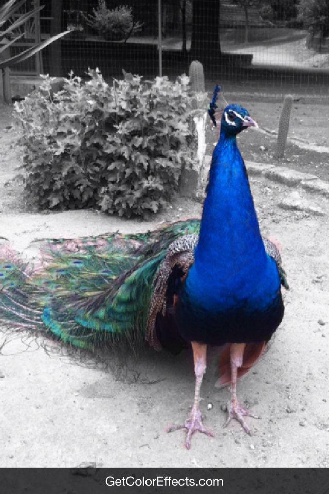 el pavo era azul y todo el resto en blanco y negro