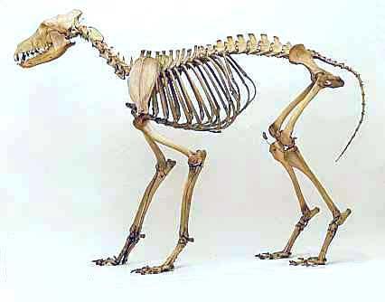 Coyote skull anatomy - photo#50