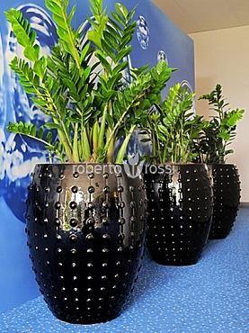 Zamioculcas natural herbs in ceramic pot Laos http://www.robertorossi.ro/amenajari-interioare-apartamente/