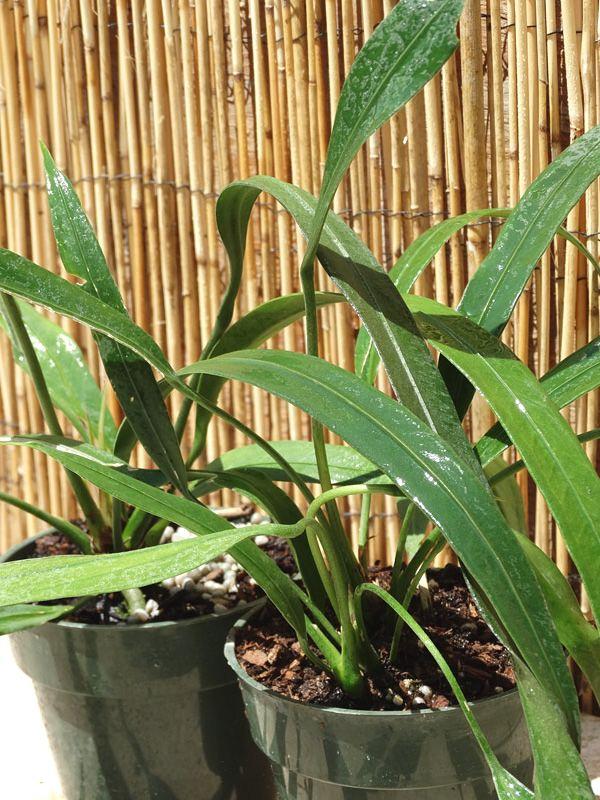 Anthurium Vittarifolium S A Strap Leaf Plant Ant Vit