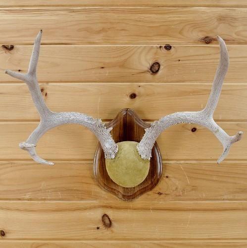 Mule Deer Antler Mount - SW1837 for sale at Safariworks Taxidermy Sales