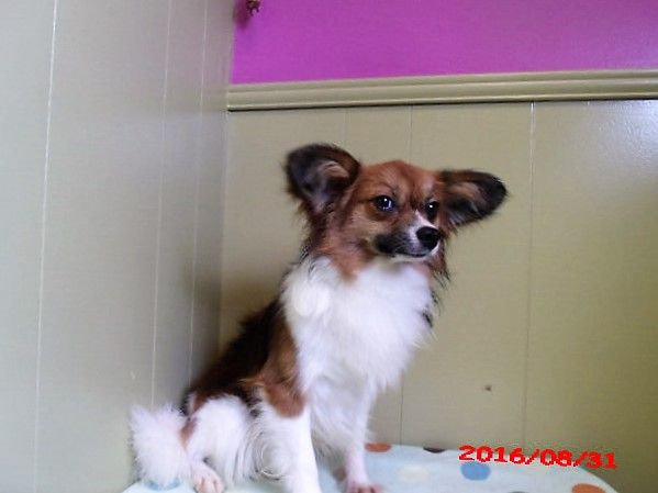 Papillon puppy for sale in PATERSON, NJ. ADN-23006 on PuppyFinder.com Gender: Male. Age: 1 Year 5 Months Old