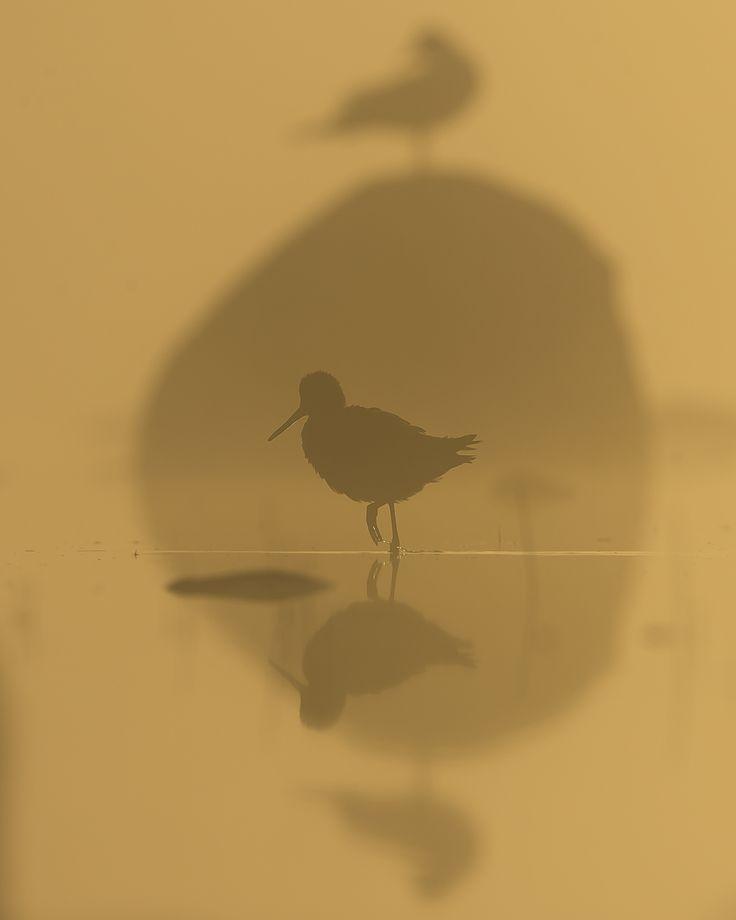 A greenshank in a shadowgame