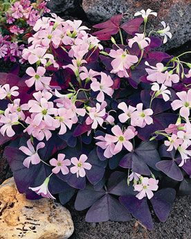 Butterfly Plant, Brazilian, Oxalis Triangularis. Both the leaves and the flowers are gorgeous!