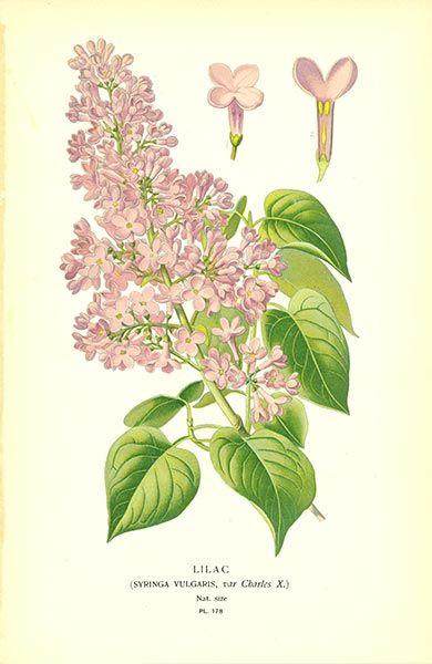 Antique print: picture of Lilac (Syringa vulgaris var. Charles X)