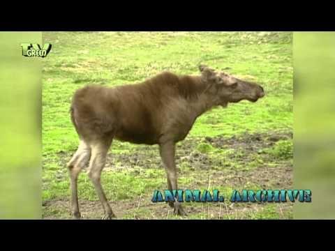 Animal Archive: Wisent - Eland - YouTube