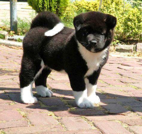 Fantastic Akita Chubby Adorable Dog - e3f9d8913af48dffe9eabd60e2cc0a72--akita-puppies-akita-dog  HD_423119  .jpg
