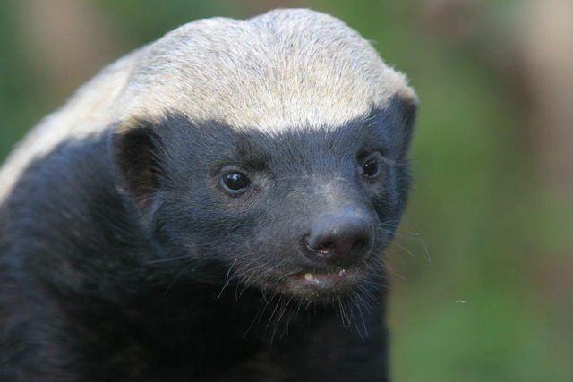 Stoffel is the beloved honey badger at Moholoholo Wildlife Rehabilitation Centre. Here is Stoffel's story about how he came to be living at the centre and the havoc he causes at Moholoholo.