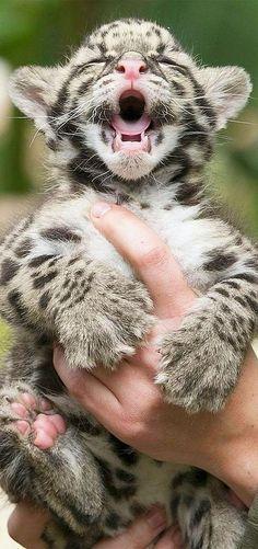sooo cute LEOPARD BABY  #Le photographe Yves Herman, de l'agence Reuters, a été le premier à tirer le portraits de deux nouveaux-nés léopards au Olmense Zoo, à Olmen…
