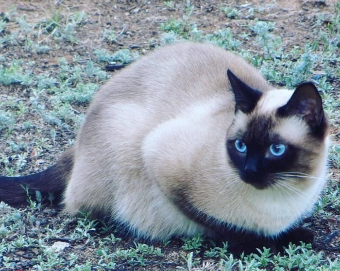 65 Cute Siamese Cat Names Cat Names Siamese Cats Blue Point Siamese Cats Facts