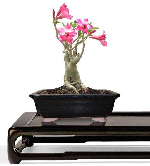 Desert Rose Bonsai Tree - Small Bonsai Tree - Adenium obesum (Web) Buy Bonsai Trees Plants - Buy Bonsai Plants Online RealBonsaiTrees.com or RealPalmTrees.com #Bonsais #DIY2015 #BonsaiTrees #MiamiBonsai #big #2015PlantIdeas #Summer2015Plants #Ideas #BeautifulPlant #DIYPlants #OutdoorLiving #decoratingareasideas