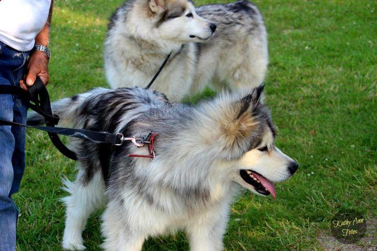 A Couple of Alaskan Malamute Huskies... (7 Photos)