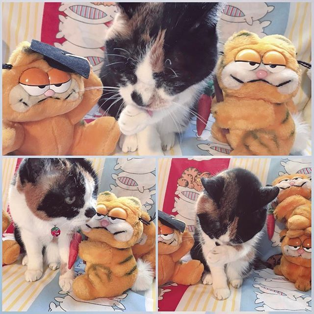 Our cat 🍭🐱CANDY, sitting on sofa in my daughter's room🛋with Garfield🐱🐱🐱 愛猫のキャンディ🐱 めずらしく二女の部屋のソファ🛋で毛づくろい☺️💕ガーフィールド🐱🐱🐱達に混じっててなんか面白くて😁 #love#happy#lovely#beautiful#dear#baby#sugarshop#baby#stuffedtoy#kawaii#cat#catstagram#kitten#kitty#kittens#vintagetoy#lovecats#furry#sleeping#lovekittens#adorable#catlover#instacat#三毛猫#愛猫#ふわもこ部#17歳 #ニャンコ#ガーフィールド