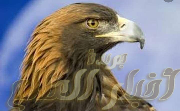تفسير روؤية نسر في المنام جريدة اخبار العالم مصر بين يديك Bald Eagle Animals Eagle