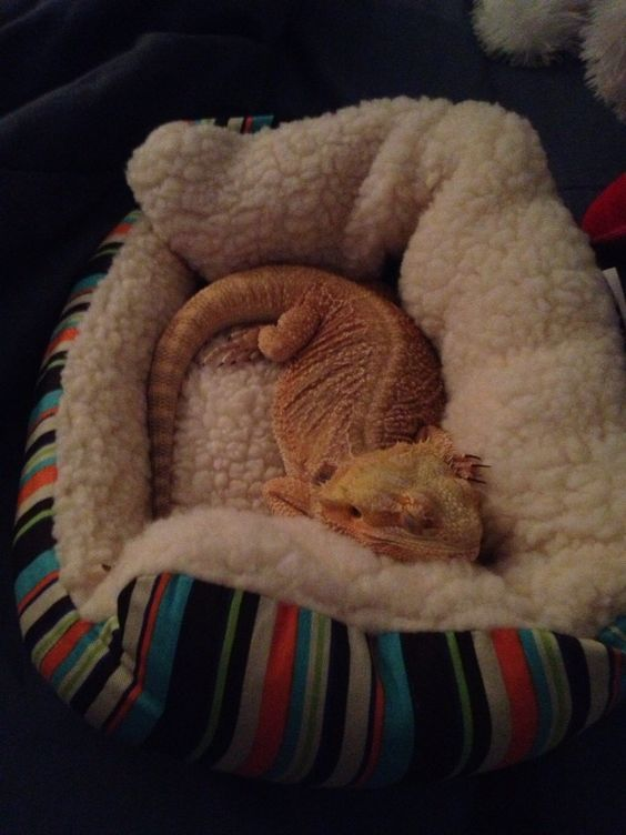 Image result for owner with pet bearded dragon