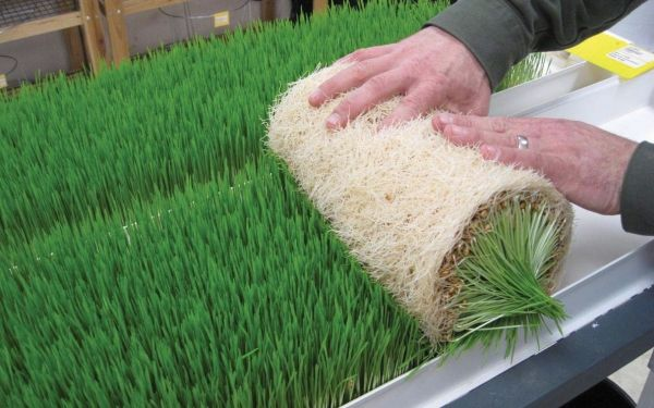 New use for hydroponics: Hydroponically grown grass mats as fodder for livestock!