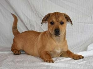 Bogie is an adoptable Shar Pei Dog in Lodi, CA. Bogie is an adorable 4 month old Sharpei -Terrier mix;  he is current on his vaccinations, has been de-wormed and will be neutered and micro-chipped bef...