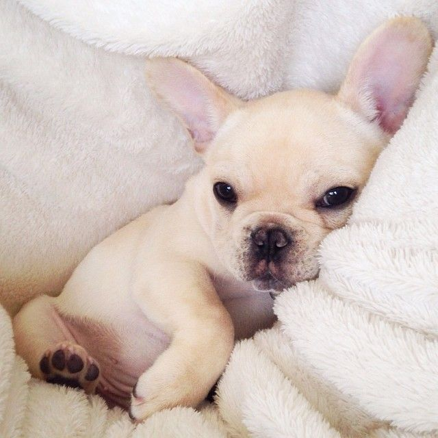 From Instagram : 25 Images with Milo the French Bulldog, also known as Frenchiebutt
