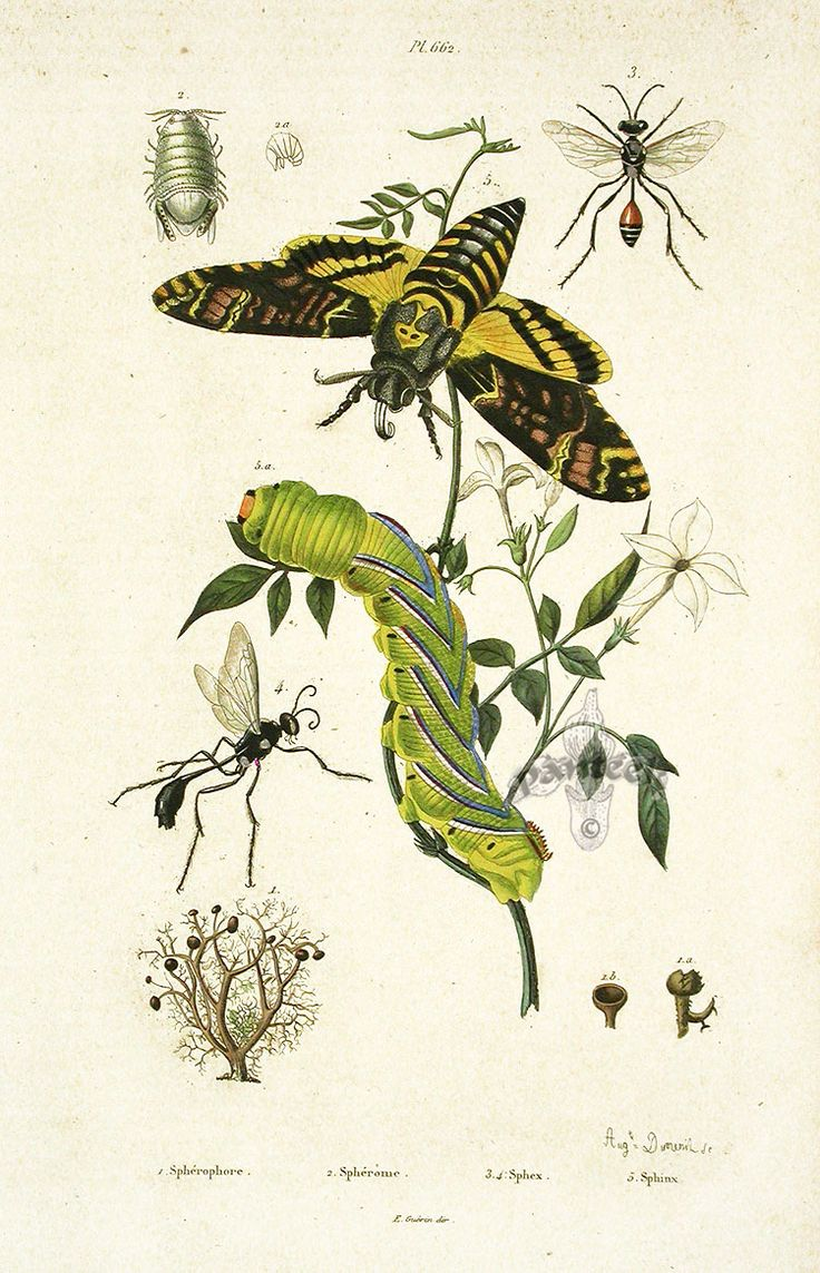 natural history prints, butterflies, zoological illustration...