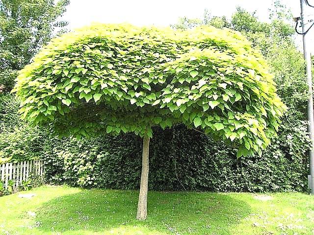 Znalezione obrazy dla zapytania Catalpa tree