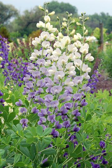"""Baptisia """"Lunar Eclipse""""—flowers change from soft yellow to cream to violet; zones 4–7"""