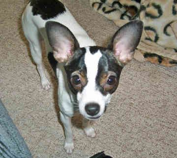teacup rat terrier 1000 images about miniature rat terriers on pinterest 3693