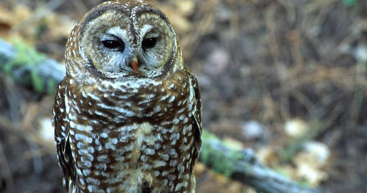 Spotted Owl (Strix occidentalis) - Information, Pictures, Sounds ...