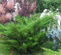 juniper flowers and plants