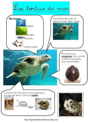 Voici mes 2 fiches d'identité pour distinguer la tortue terrestre de la tortue marine ;