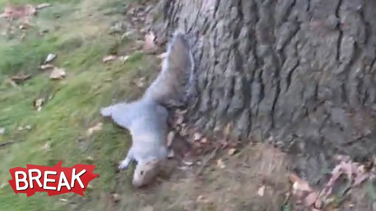 Drunk Squirrel Tries to Climb Tree - Break Fails  Bless his little heart!