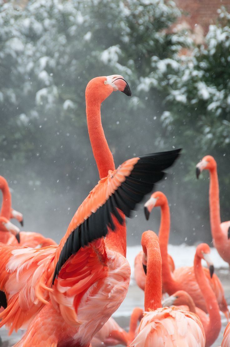 Pink Flamingos in the snow!