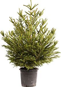 Living Pot-Grown Christmas Tree Norway Spruce Its impossible to beat that stunning fresh pine fragrance that a real Christmas Tree brings to the home. Not for us the artificial trees in their odd shades and colours. But fresh cut trees are very e http://www.comparestoreprices.co.uk/january-2017-7/living-pot-grown-christmas-tree-norway-spruce.asp