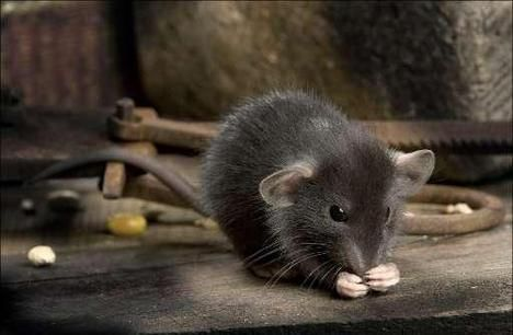 Mensen en muizen aangetrokken door dezelfde geuren - HLN.be