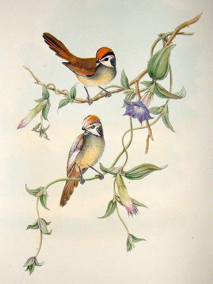 23 Best John Gould The Bird Man Images On Pinterest Bird
