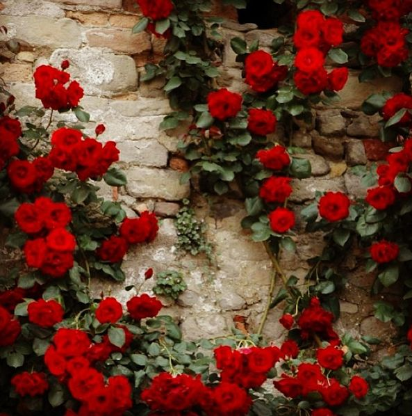 rose and vine wallpaper - photo #15