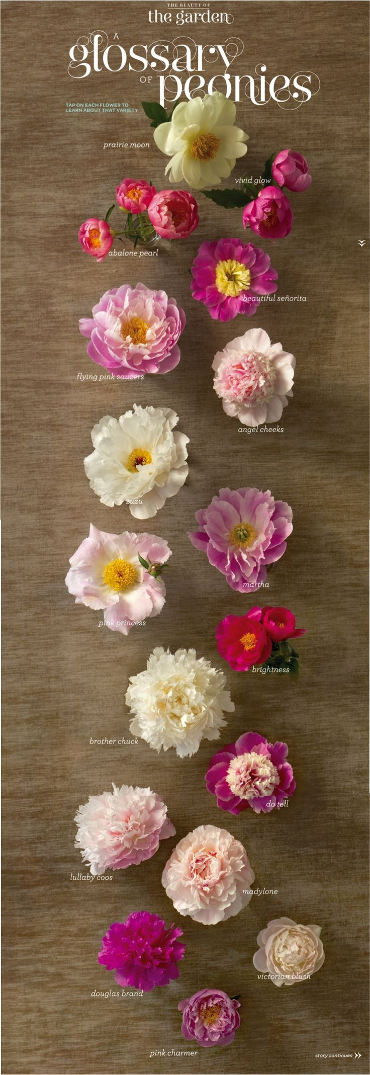 A great (and pretty) peony chart to find the perfect bloom!