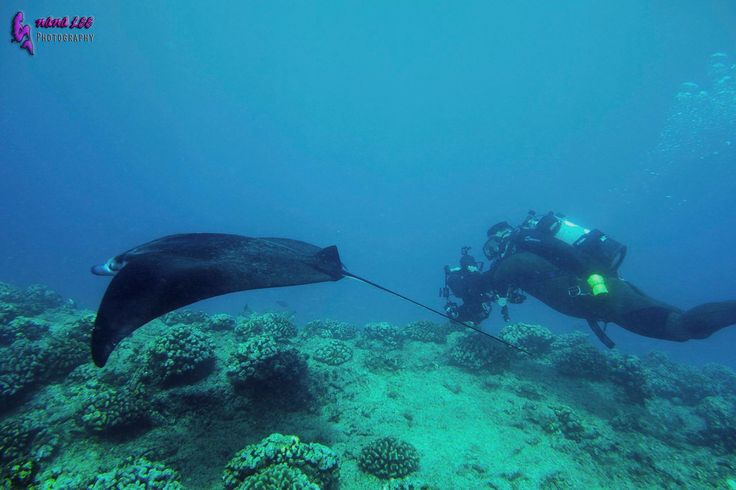 Do you want to dive with Manta Rays on Oahu, Hawaii? https://diveoahu.com/dive-charters/