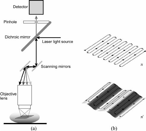 Fig. 5. (a) Scheme of principle for laser scanning confocal microscopy. Two galvanometer mirrors oscillating on orthogonal axes scan the excitation laser beam along a raster path. Light is focused onto the sample and the emission light is descanned and detected through a dichroic mirror. (b) The raster scanning path lies on a horizontal imaging plane (top) perpendicular to the imaging objective. When the subject moves, the imaging plane in the organ's reference frame will appear as a curved…