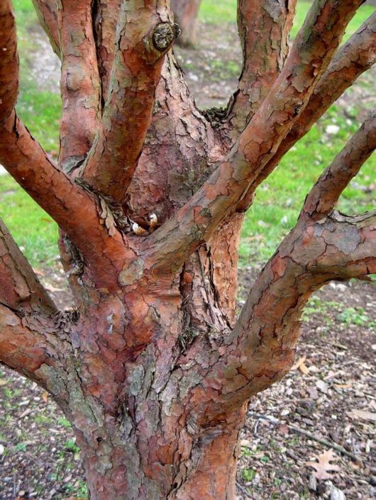 41 best images about Cinnamomum on Pinterest | Flora, Real ...