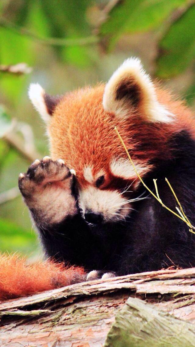 Red Panda!