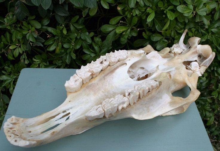 Лошадь череп реальные вся Таксидермия Наука Медицина образование Декор,новый • £89.00 - PicClick Великобритания