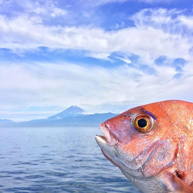 """【d_yas26】さんのInstagramをピンしています。 《𓇼 """" 富士山 と 鯛 """"のメデタイコラボ👀🙌✨ . 『あ〜ぁ〜釣られちゃった〜』って顔してる😆 泳げたい焼きくんみたい....😸 𓇼 #sea#mt_fuji#fujiyama#Redseabream#fishing#海#富士山#真鯛#マダイ#泳げたい焼きくん#海釣り#ボートフィッシング#TGベイト緑金#魚の王様》"""