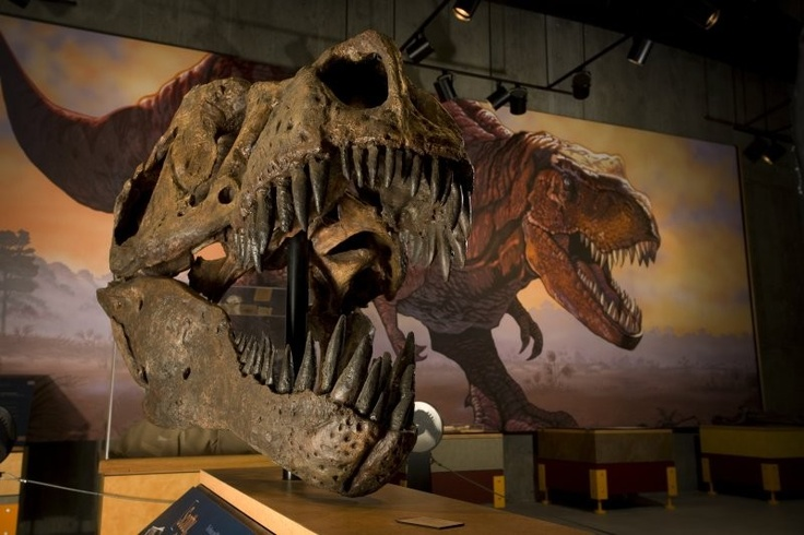 """Scotty"" the T.rex, found near Eastend, #Saskatchewan, is the most complete T.rex skeleton ever found in Canada."