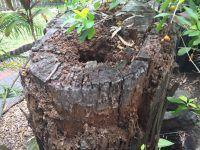 Termites love tree stumps