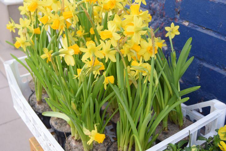 Żonkile w skrzynce. #hydrobox #hydroboxpl #kwiaty #wiosna #wiosenne #flowers #flowerpot #ideas #diy #vintage