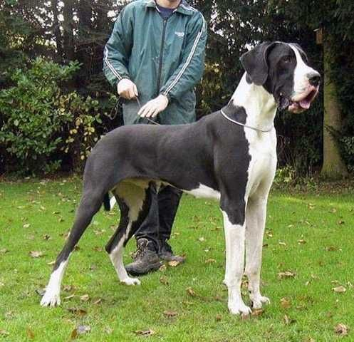 Great Danes For Adoption | Great Dane puppys Any color for sale FOR SALE ADOPTION in Philippines ...