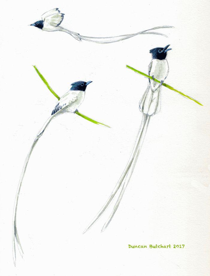 Asian Paradise-Flycatcher (Terpsiphone paradisi). Gir National Park, Gujurat, India.